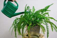 Green gardening watering fern Stock Photography
