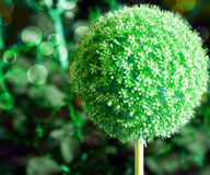 Green Garlic Flower Background Royalty Free Stock Photo