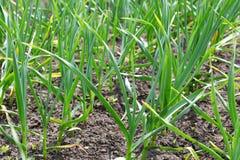 Green garlic Royalty Free Stock Photos