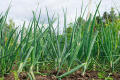 Green garlic leaves growing. Royalty Free Stock Photos