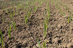 Green garlic seedlings. Rows of green garlic seedlings cultivated outdoors stock photography