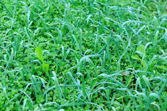 Green garlic sprout Royalty Free Stock Images