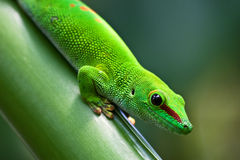 Green gecko. Green madagascarian gecko on the palm tree Royalty Free Stock Photos
