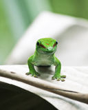 Green gecko Royalty Free Stock Image
