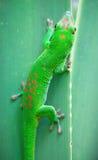 Green gecko Royalty Free Stock Photo