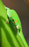 Green gecko Royalty Free Stock Images