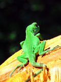 Green gecko. Lime green gecko on tree stump Royalty Free Stock Photography