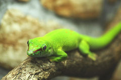 Green gecko Royalty Free Stock Photo