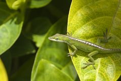 Green gecko Stock Images
