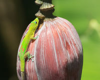 Green Gecko Royalty Free Stock Photos