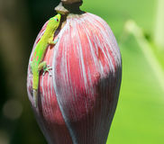 Green Gecko. On a banana flower, picture was taken on a Big Island, Hawaii Stock Photography