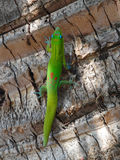 Green Gecko Climbing a Palm Tree Royalty Free Stock Photography