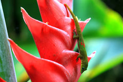 Gold dust day gecko on Heliconia flower. Gold dust day gecko feeding on Heliconia flower, Hawaii Royalty Free Stock Photography