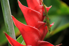 Gold dust day gecko on Heliconia flower Royalty Free Stock Images