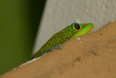 A green gecko hiding  Royalty Free Stock Photo