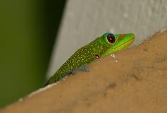 A green gecko hiding. A bright green gecko or lizard Royalty Free Stock Photo