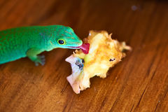 Green gecko lizard eating apple core Royalty Free Stock Image