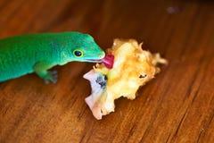 Green gecko lizard eating apple core Royalty Free Stock Image