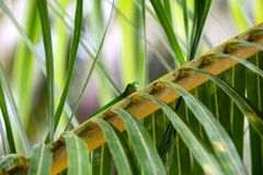 Green gecko looks natural from a palm leaf Stock Photos