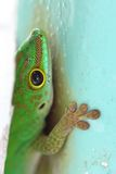 Green Gecko Macro. Macro shot of an endemic green gecko of the Seychelles, hiding behind a pole Stock Photography