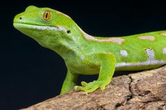 Green gecko / Naultinus grayii Stock Images