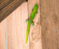 Green Gecko. On a wooden wall Stock Image
