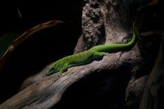 Green Gekko Stock Images