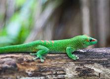 Green geko Stock Images