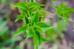 Spring green leaves on branch stock images