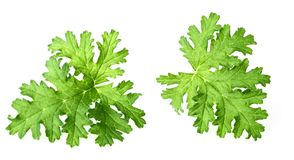 Fresh rose geranium leaves isolated on white. Green geranium leaves on the white background royalty free stock images