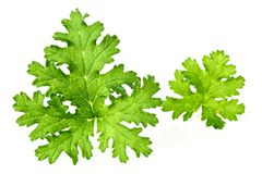 Fresh rose geranium leaves isolated on white. Green geranium leaves on the white background royalty free stock image