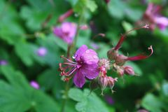 Geranium macrorrhizum in bloom Royalty Free Stock Photography