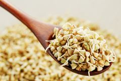 Green germinated buckwheat on a wooden brown spoon. Raw buckwheat. Useful food from buckwheat sprouts for vegetarian food. Green germinated buckwheat on a wooden royalty free stock image