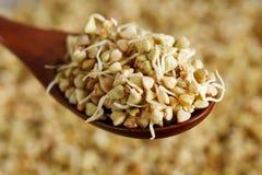Green germinated buckwheat on a wooden brown spoon. Raw buckwheat. Useful food from buckwheat sprouts for vegetarian food. Green germinated buckwheat on a wooden stock photos