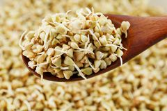 Green germinated buckwheat on a wooden brown spoon. Raw buckwheat. Useful food from buckwheat sprouts for vegetarian food. Green germinated buckwheat on a wooden royalty free stock images
