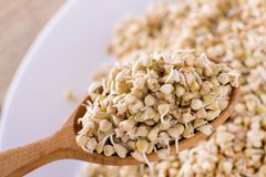 Green germinated buckwheat on a wooden spoon. Raw buckwheat. Useful food from buckwheat sprouts. Green germinated buckwheat on a wooden brown spoon. Raw stock photography