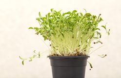 Green germinated cilantro sprouts with seeds in a pot on a light background. Closeup with soft selective focus stock photos
