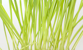 Green germinated oats Stock Images