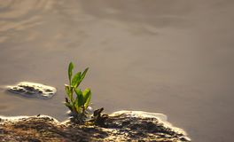 Green Germinating Plant growing by side of Water - Natural Background - Botany - Biology - Hope and Aspiration - Growth Stock Image