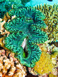 Green giant clam Royalty Free Stock Photography