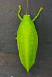 Green giant katydid Stilpnochlora couloniana Stock Images