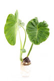 Green giant taro Royalty Free Stock Photos