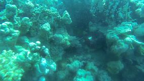 Green Giant Triggerfish hiding. Among coralsn stock footage