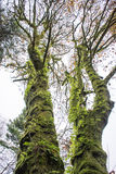Green Giants. These were two trees in a forest in Washington. Washington is the evergreen state for a reason and this is why. Everything was covered in moss or Royalty Free Stock Photo