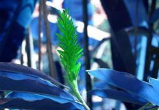Green ginger with blue leaves. Close up of green ginger plant with blue leaves in jungles Royalty Free Stock Photos