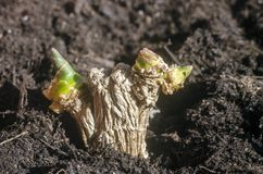 Green ginger root sprouts planted in soil. Spice for cooking Royalty Free Stock Photos