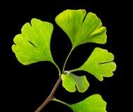 Green ginkgo biloba Stock Photography