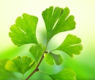Green ginkgo biloba Royalty Free Stock Photography