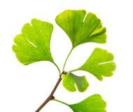 Green ginkgo biloba Stock Image