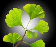 Green ginkgo biloba Royalty Free Stock Photos